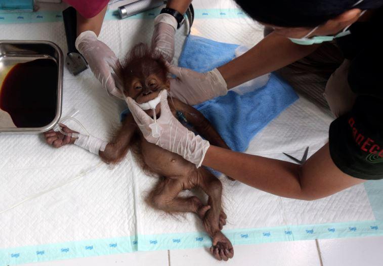 Ruso intentaba contrabandear un orangután [Internacional]